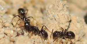 species of ant in the uk - Lasius niger