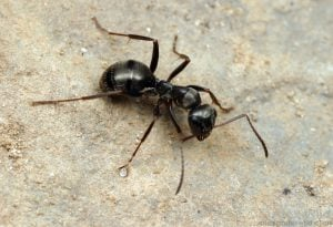 species of ant found in the uk - Formica sp