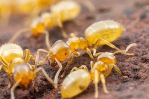 species of ant found in the uk - yellow