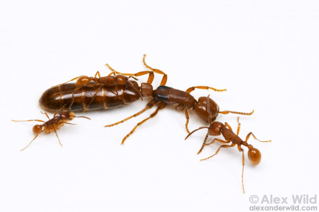 Army Ant Queen