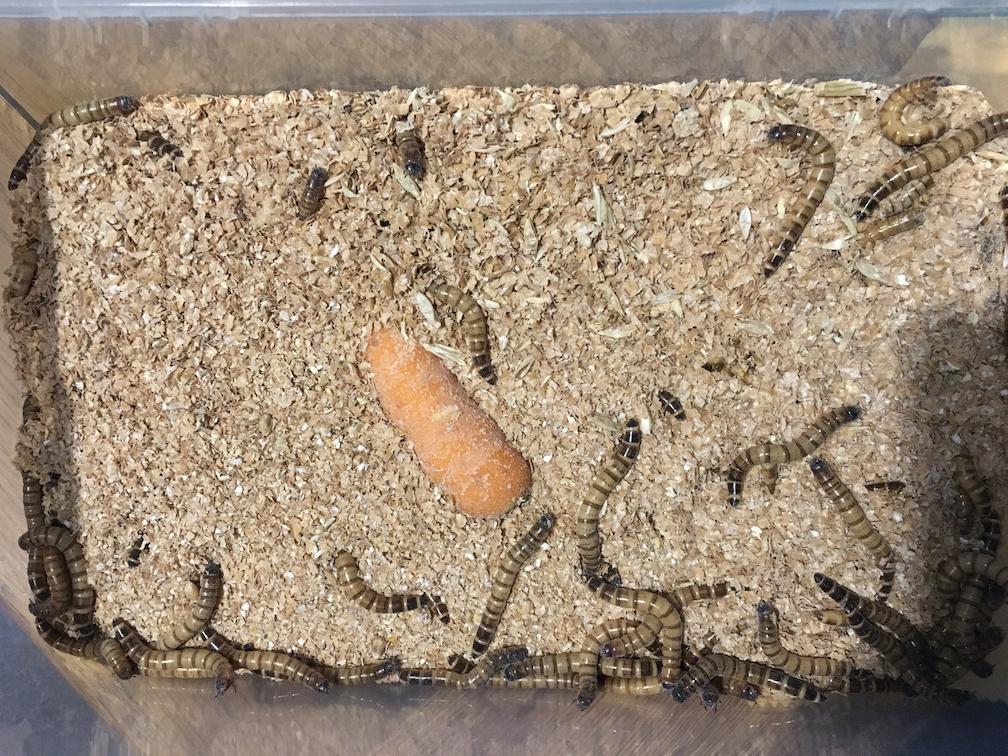 morio worms